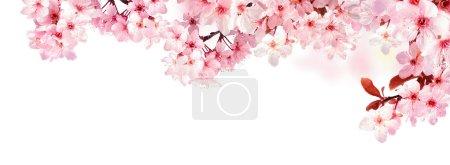 梦幻般的樱花上白色孤立