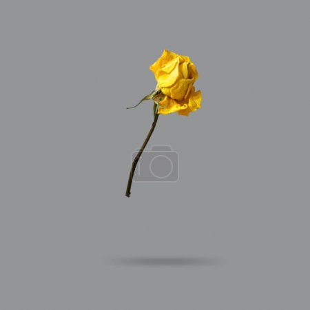 beautiful yellow dry rose on gray background