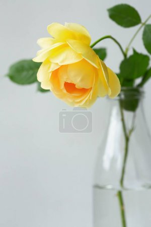 Yellow rose in vase.